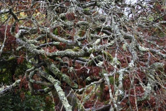 Acer palmatum dissectum 1