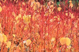 Cornus Annys Winter Orange