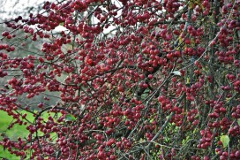 Malus x robusta Red Siberian