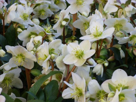 Hellebore Candy Love
