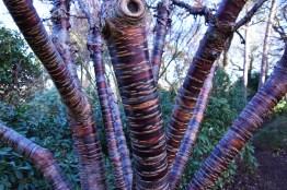 Prunus himalaica