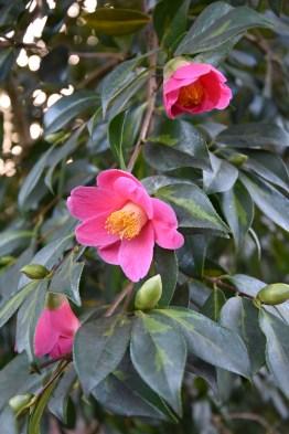 Camellia Golden Spangles