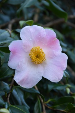 Camellia JC Williams