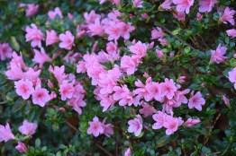 Rhododendron Kirin
