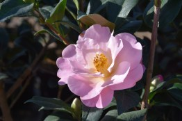 Camellia Nicky Crisp