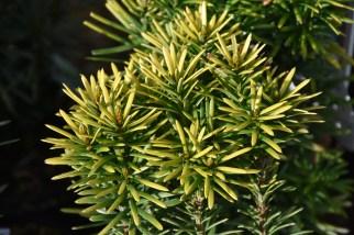 Cephalotaxus harringtonia Korean Gold