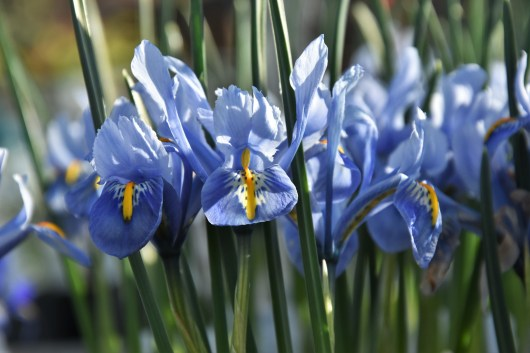 Iris reticulata Alida