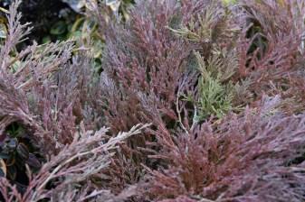 Juniperus Youngstown