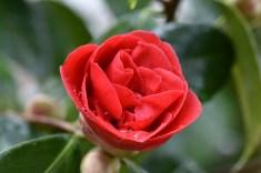 Camellia japonica Mercury