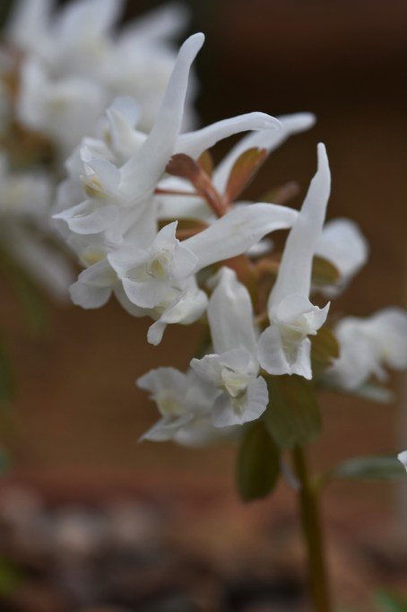 Corydalis soida White Swallow
