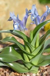 Iris willmottiana