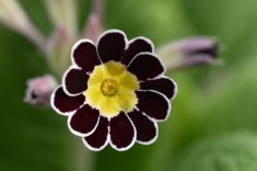 Primula Silver Lace Group