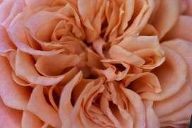 Hot House Rose