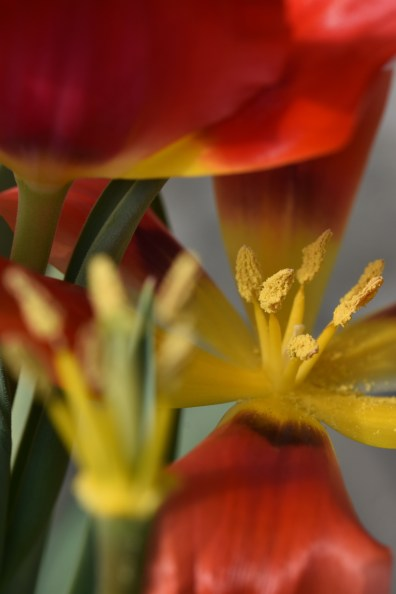 Tulipa greggii