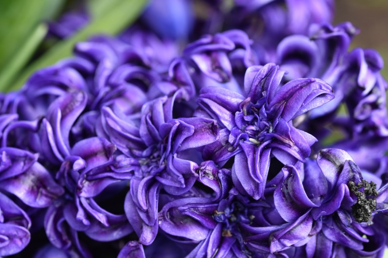 Hyacinthus Royal Navy