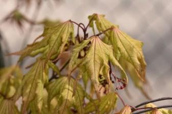Acer palmatum Aka Shigititsu-Sawa