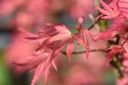 Acer palmatum Wilson's Pink Dwarf