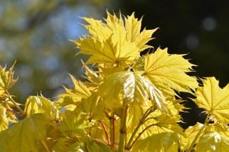 Acer platanoides Princeton Gold