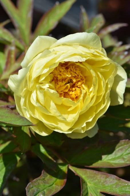 Paeonia suffruticosa High Noon