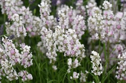 L. angustifolia Hidcote Pink (England)