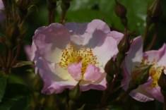 Rosy Cushion