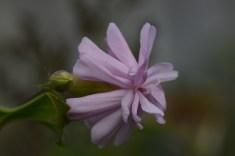Saponaria