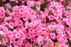 Phlox Light Pink Flame