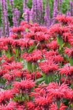 Monarda Gardenview Scarlet