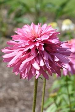 Echinacea Pink Poodle