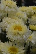 Leucanthemum Real Charmer
