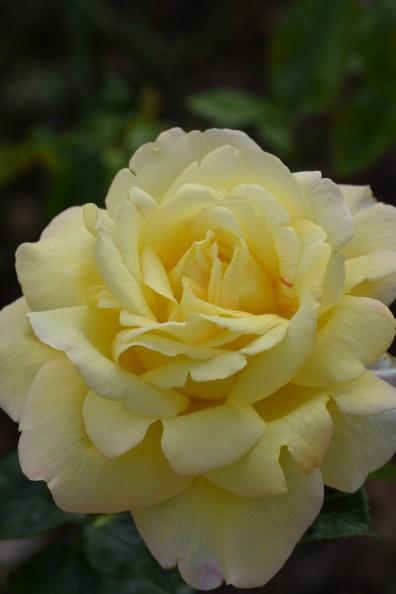 Rosa Peace 'Madame A Meilland'