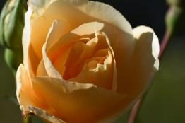 Rosa Golden Beauty 'Korberbeni'