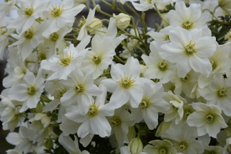 Clematis Avalanche