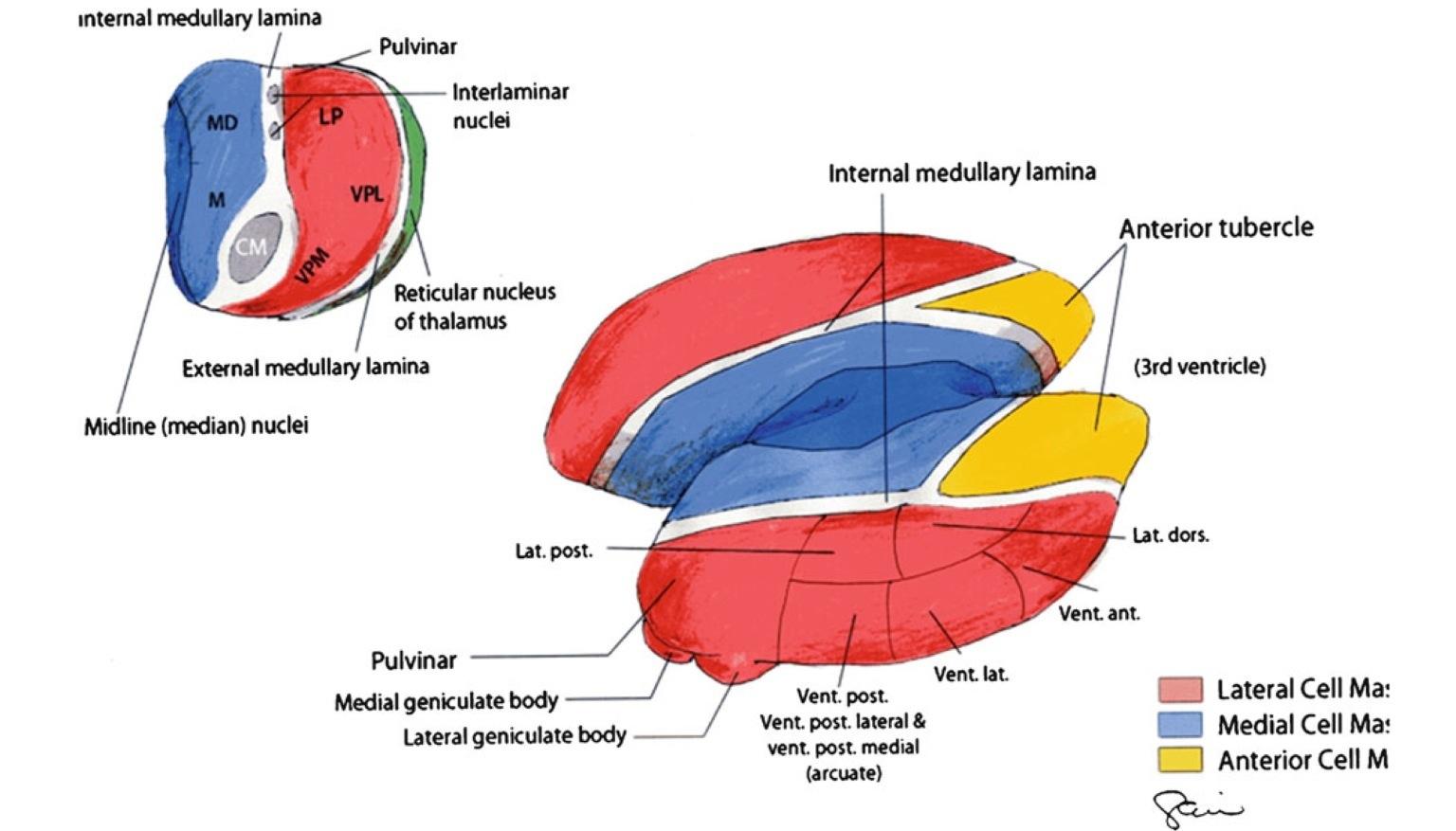 brain diagram thalamus database visual studio 2013 part of which controls consciousness medical