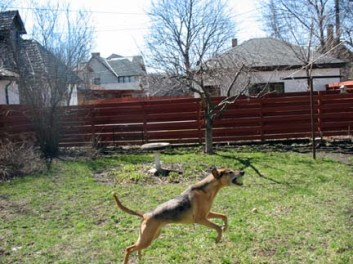 coonhound leaps!