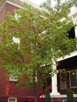 uptown oak.jpg