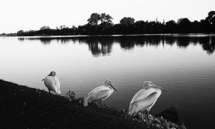 Pelican Brief-1