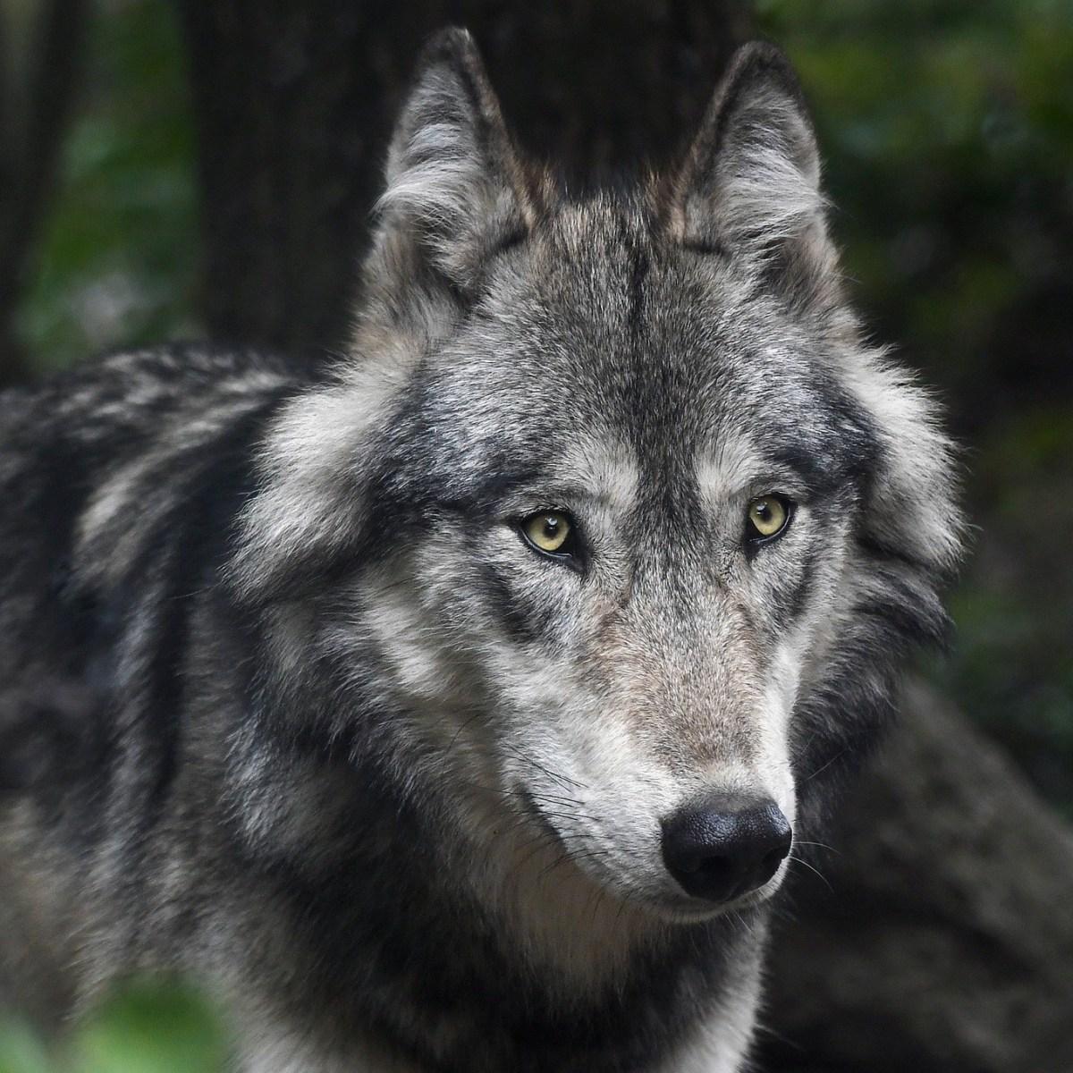 Der mit dem Wolf tanzt...