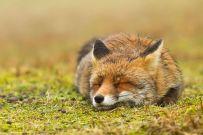 Почиваща си лисица