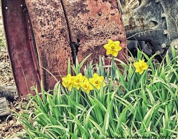 75- DaffodilNIK_102