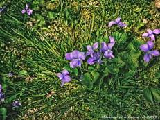75-VioletsNK_021
