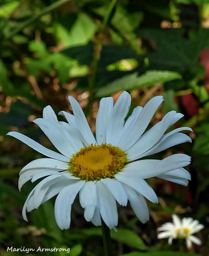 72-Daisy-Flowers_29