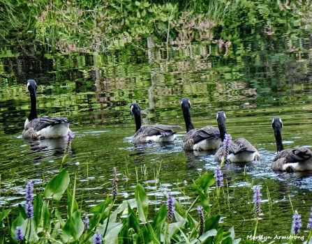 72-Geese_19