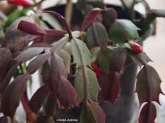 72-christmas-cactus-macro-21112016_033