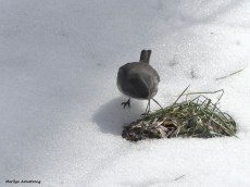 180-junco-ground-birds-022117_-017
