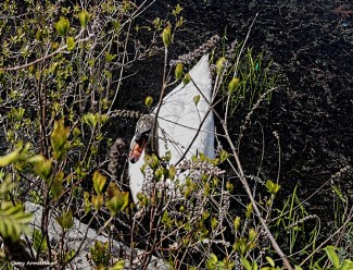 300-swans-gar-050417_046