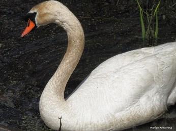 300-swans-mar-050417_128