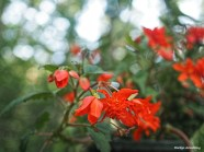 300-orange-begonias-061417_015