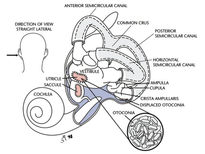 BPPV-Anatomy1