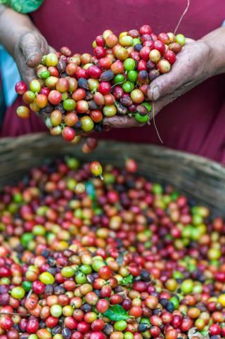 Tuoreita vastapoimittuja kahvimarjoja ennen prosessointia.